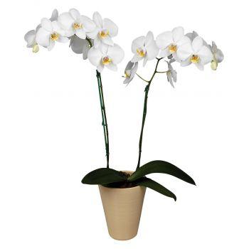Белая комнатная Орхидея (2 ствола). annetflowers.com.ua.  Купить белую орхидею в Киеве