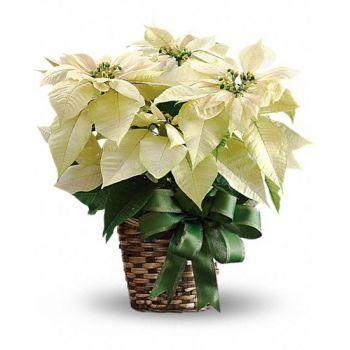 Пуансеттия белая. annetflowers.com.ua. Доставка белой пуансеттии в горшке в Киеве с доставкой по Украине